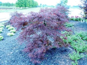 Acer palmatum v. dissectum (Japanese Cut-Leaf Maple)