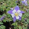 Aquilegia x caerulea 'Swan Blue and White'